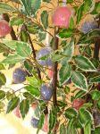 Arvore c/ folhas artificiais e maça coloridas.